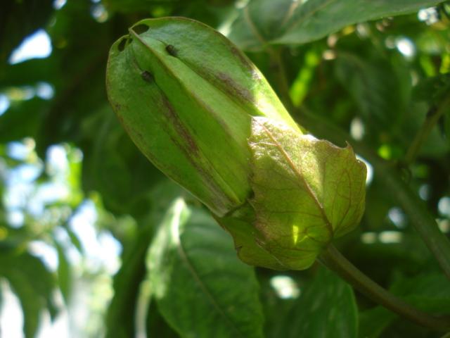 identification passiflora Flavi_11