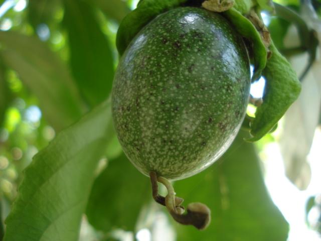 identification passiflora Flavi_13