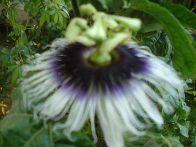 Pasiflora in Morocco Hybrid10
