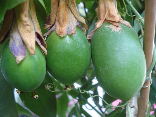 Pasiflora in Morocco Impera10