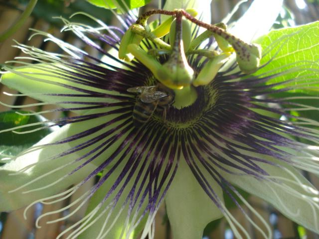 Pasiflora in Morocco Paulo_10