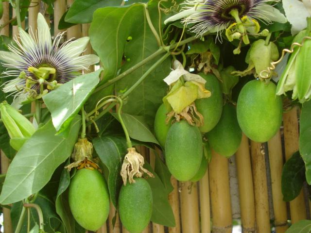Pasiflora in Morocco Paulo_11