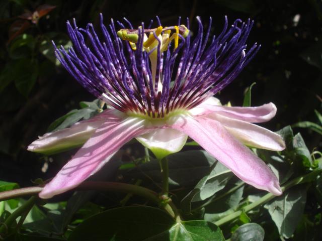 Pasiflora in Morocco Perfum10