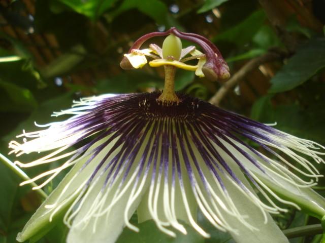 Pasiflora in Morocco Saphyr10