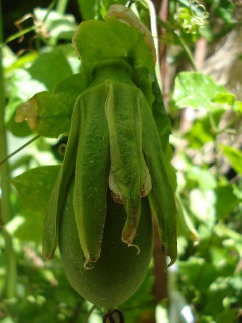 Pasiflora in Morocco Sapphi10