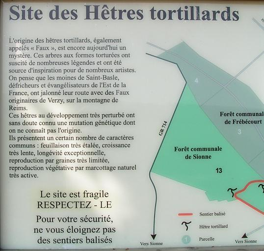 Hêtres tortillards Ht_710