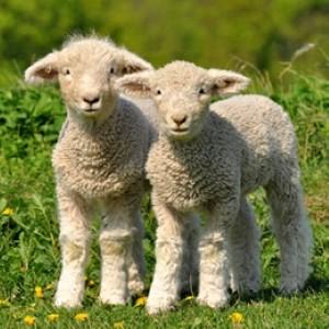 Bonne Mercredi Lamb-r10
