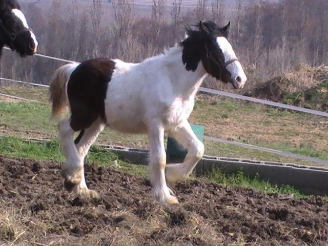 les frisons de patricia elevage de chevaux frisons et irish-cobs Poulai19