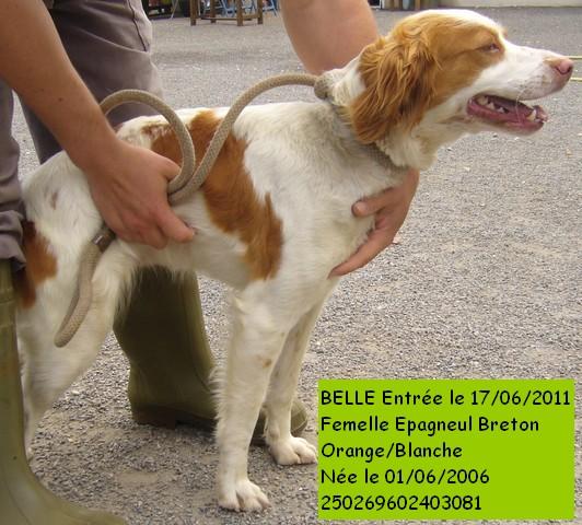 BELLE Epagneul Breton 250269602403081 836_co10