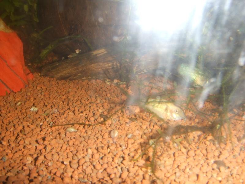 une erreur de la nature sur corydoras qui le rend magnifique Dscf0818