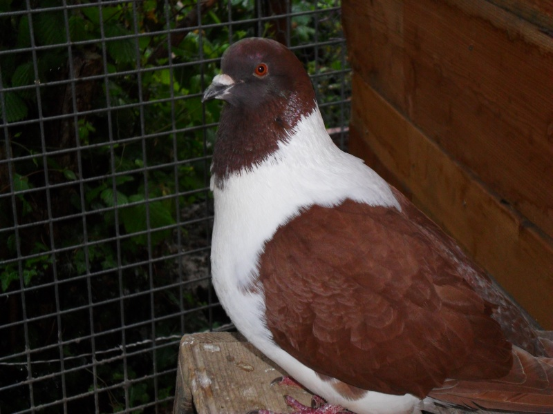 mon couple de pigeons Pigeon10