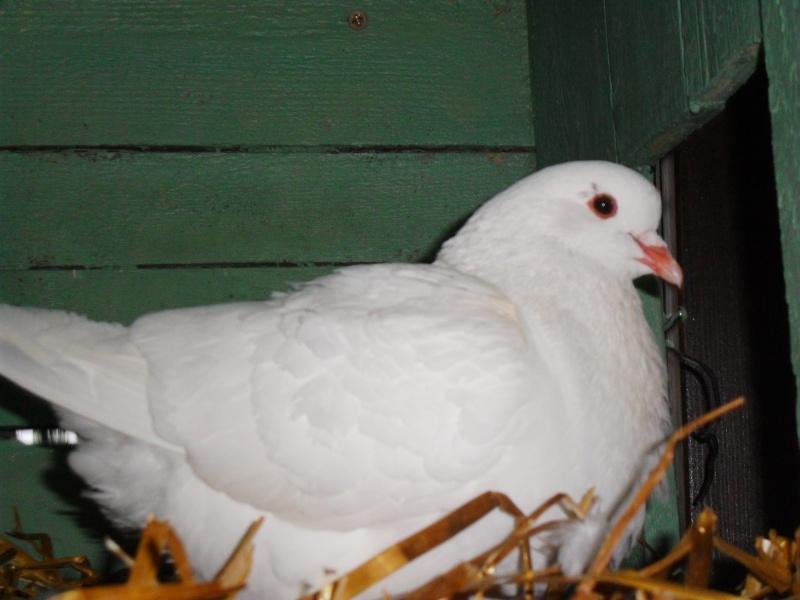mon couple de pigeons Pigeon11