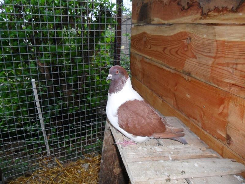 mon couple de pigeons Pigeon14