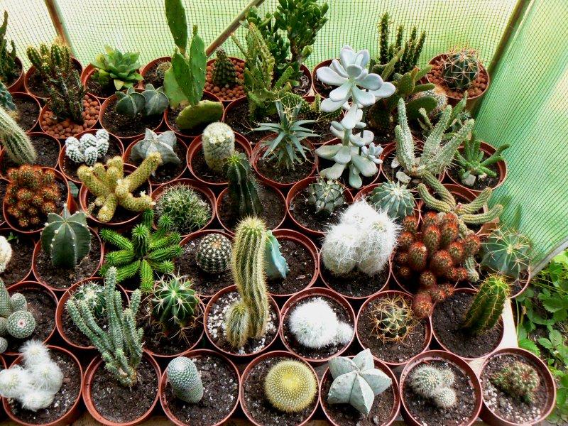 Mon garage a été vidé de mes cactus !!! P1190221
