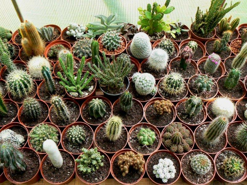 Mon garage a été vidé de mes cactus !!! P1190222