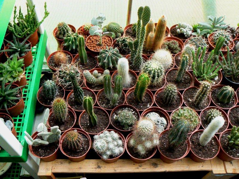 Mon garage a été vidé de mes cactus !!! P1190223