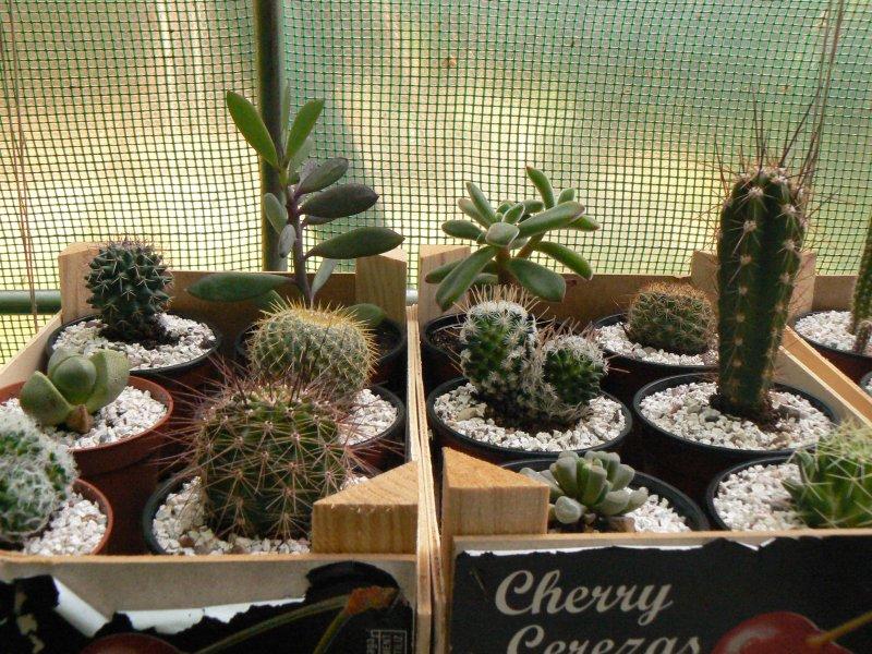 Mon garage a été vidé de mes cactus !!! P1190224