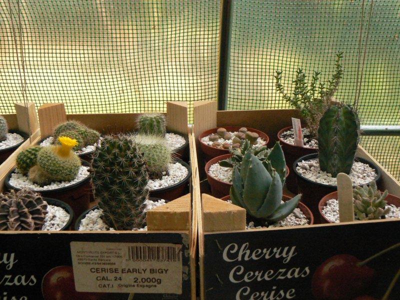 Mon garage a été vidé de mes cactus !!! P1190226