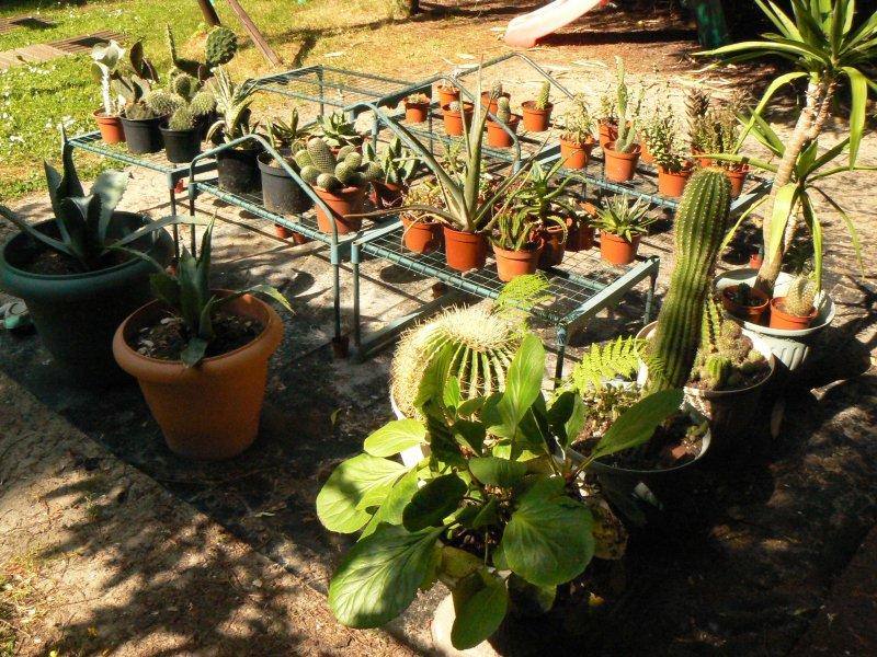 Mon garage a été vidé de mes cactus !!! P1190232