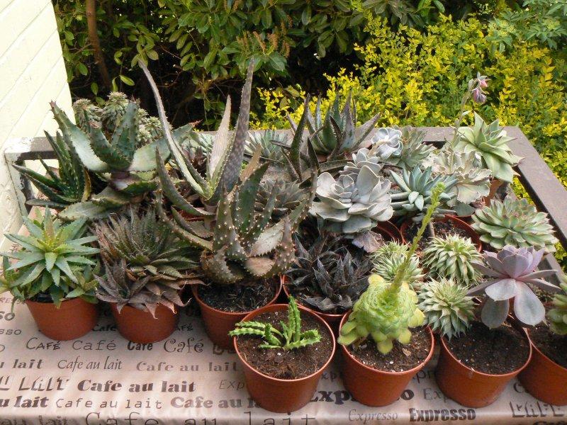 Mon garage a été vidé de mes cactus !!! P1190233