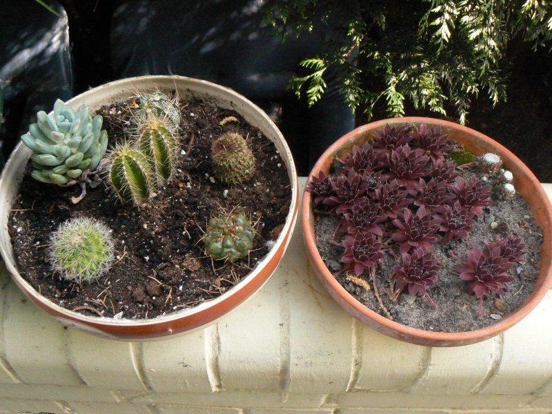 Mon garage a été vidé de mes cactus !!! P1190235