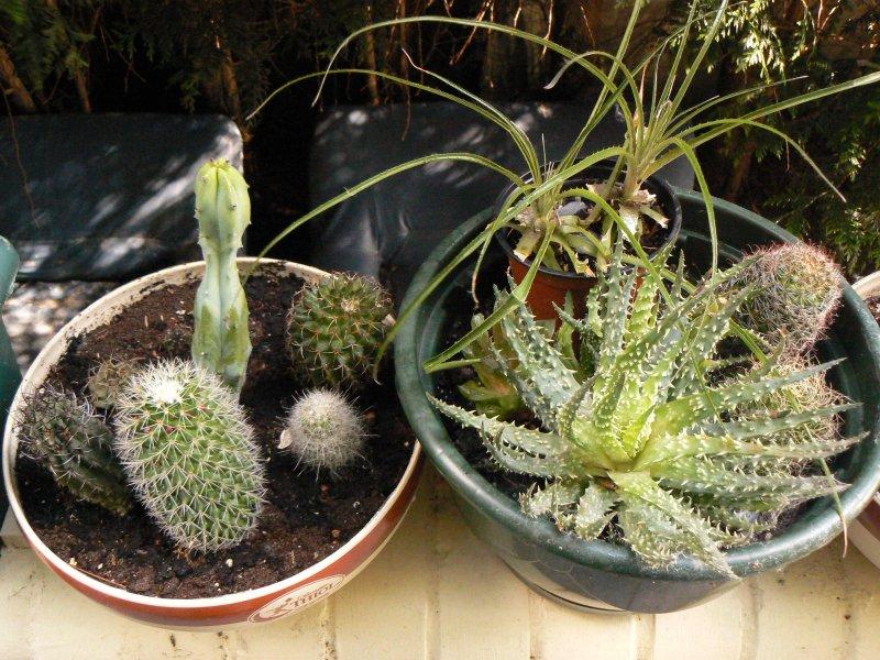 Mon garage a été vidé de mes cactus !!! P1190236