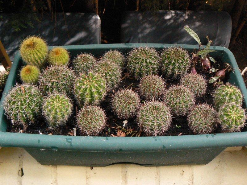 Mon garage a été vidé de mes cactus !!! P1190237
