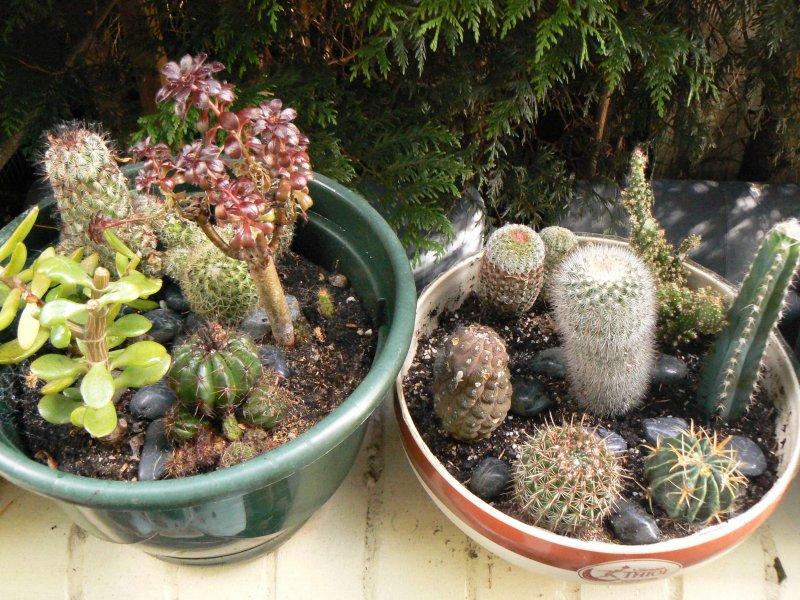 Mon garage a été vidé de mes cactus !!! P1190238