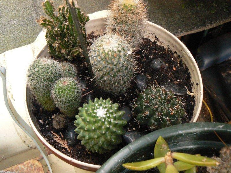 Mon garage a été vidé de mes cactus !!! P1190239