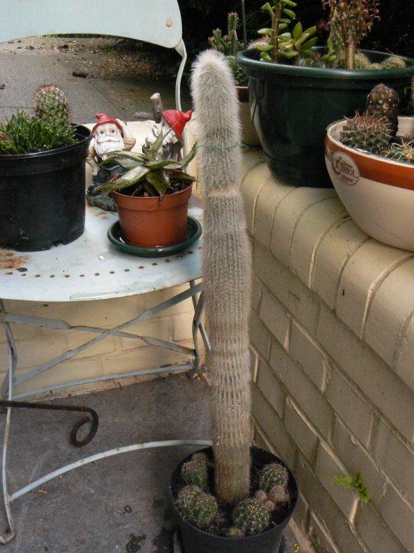 Mon garage a été vidé de mes cactus !!! P1190242