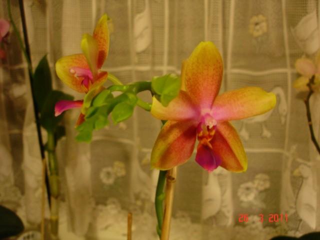 Orchideenblüten 2011 2011_016