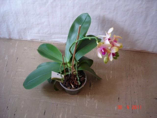 Orchideenblüten 2011 2011_018