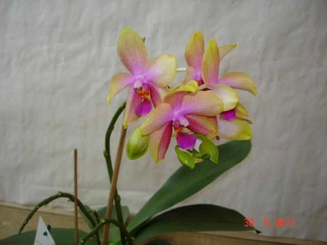Orchideenblüten 2011 2011_020