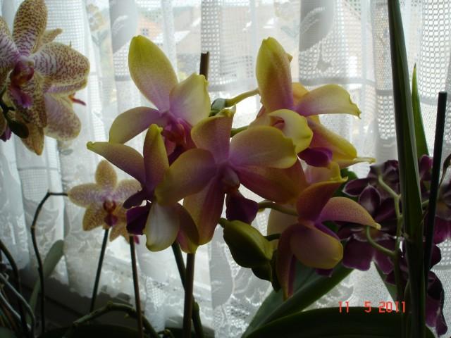 Orchideenblüten 2011 2011_021