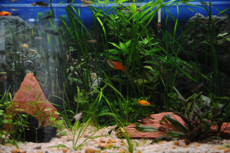 mon 250l pour petit poisson Dsc_7611