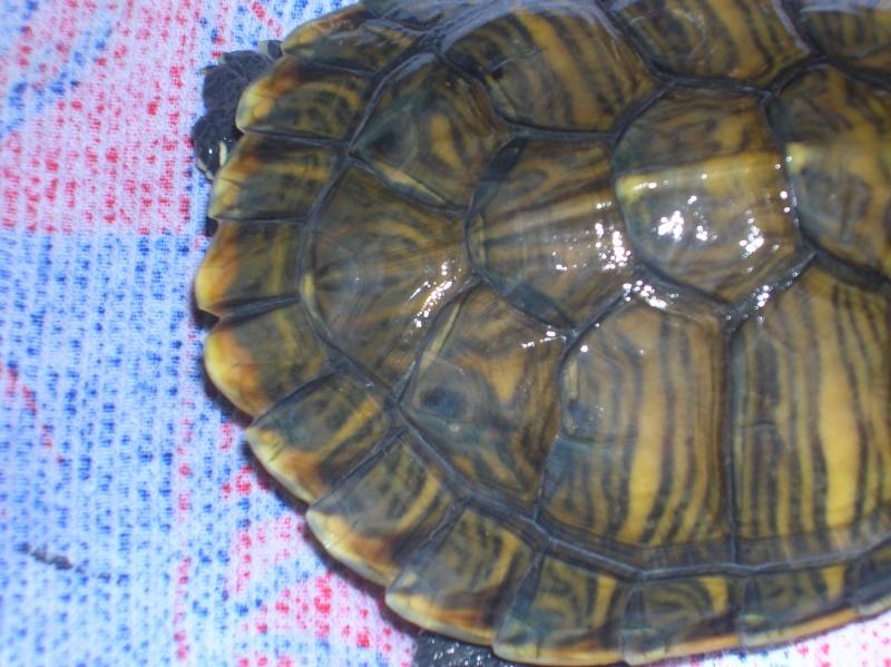 Taches suspecte sur la dossière de ma tortue ??? Dscn1010