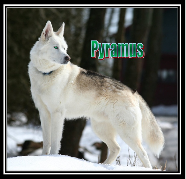 Bear's Wolves Like To Stay HERE (Because Where Else Would They Go?) Pyramu10