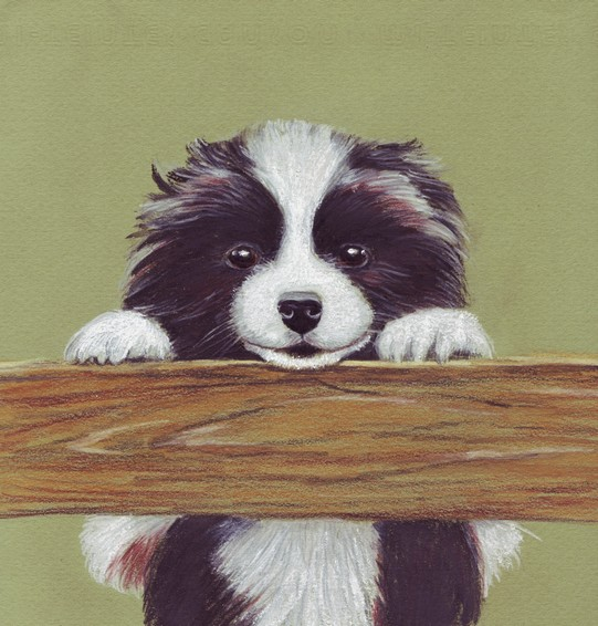 Border collie pup Border10