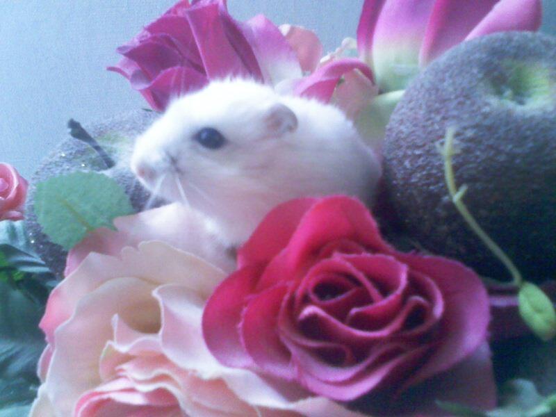 Hamsters Nains 02031110