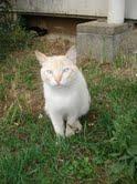 BERLIOZ - jeune chat typé siamois  - Page 2 Berlio11