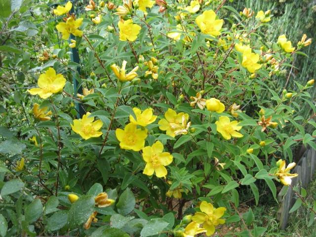 Nom  de cette plante  ?  millepertuis / Hypericum 'Hidcote' Img_0014
