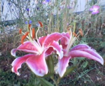 Mes fleurs d'hier et d'aujourd'hui Photo-10