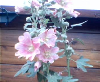 Mes fleurs d'hier et d'aujourd'hui Photo-11