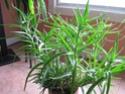 Est-ce un aloes grimpant [Aloe ciliaris] 2011-013