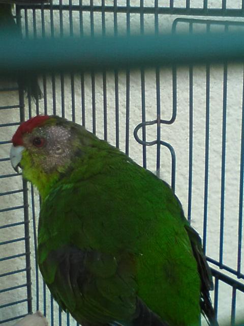 Plus de plumes sur la tête de mon mâle§! Dsc02215