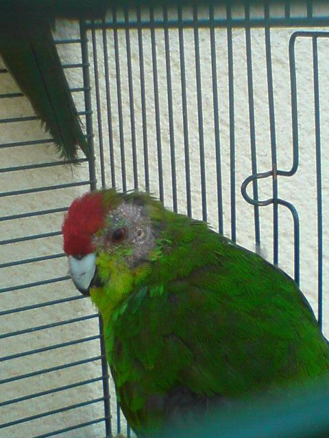 Plus de plumes sur la tête de mon mâle§! Dsc02217