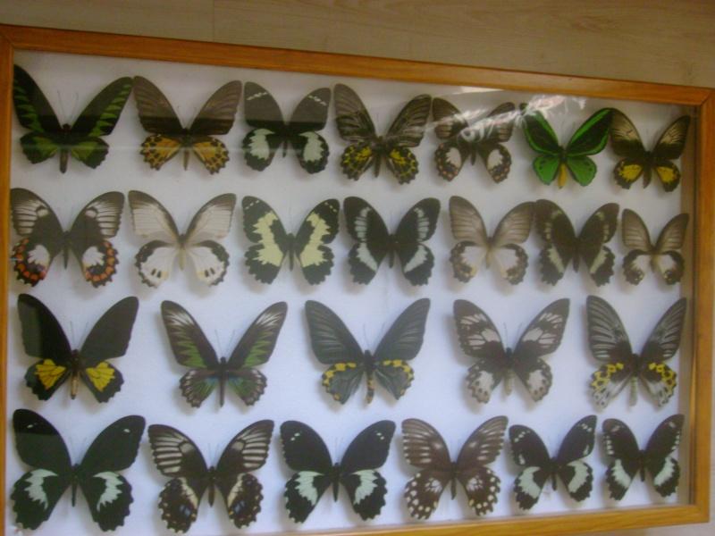 ou vendre une grande collection de papillons et de coleo ??? Dsc03315