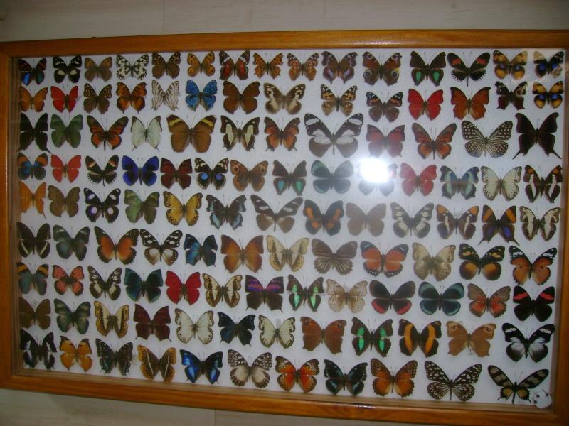 ou vendre une grande collection de papillons et de coleo ??? Dsc03316