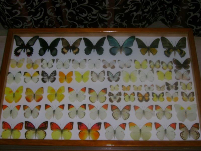ou vendre une grande collection de papillons et de coleo ??? Dsc03318