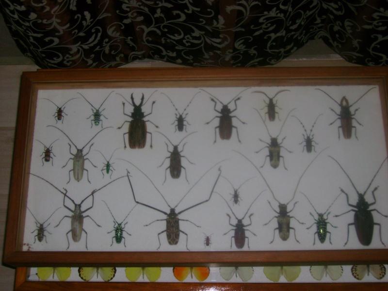 ou vendre une grande collection de papillons et de coleo ??? Dsc03319